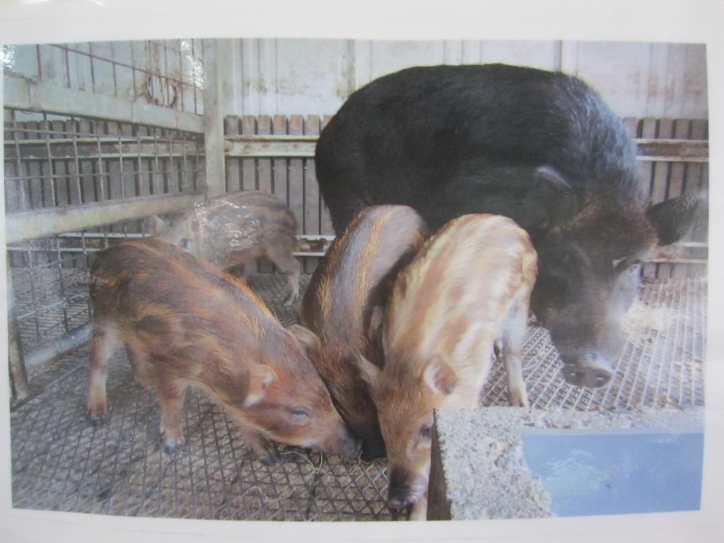 イノブタ(猪と豚の掛け合わせ)