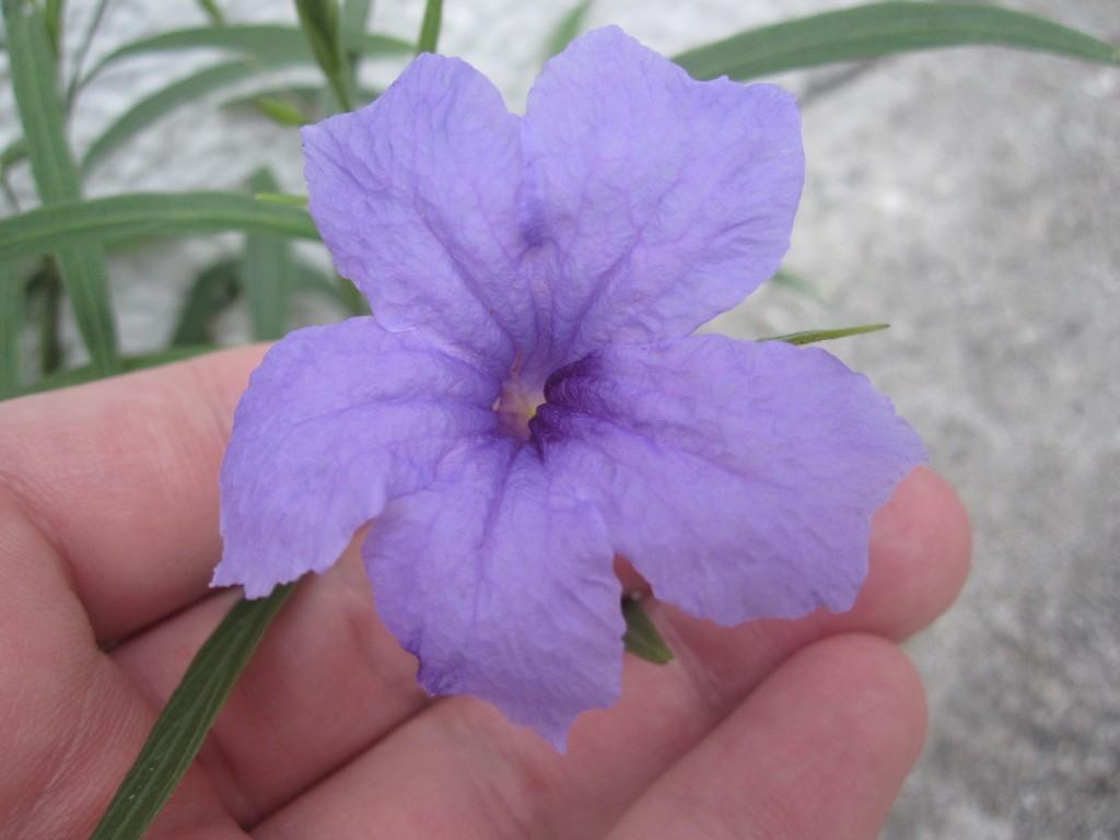 ヤナギバルイラソウ(柳葉ルイラ草)の紫色の花