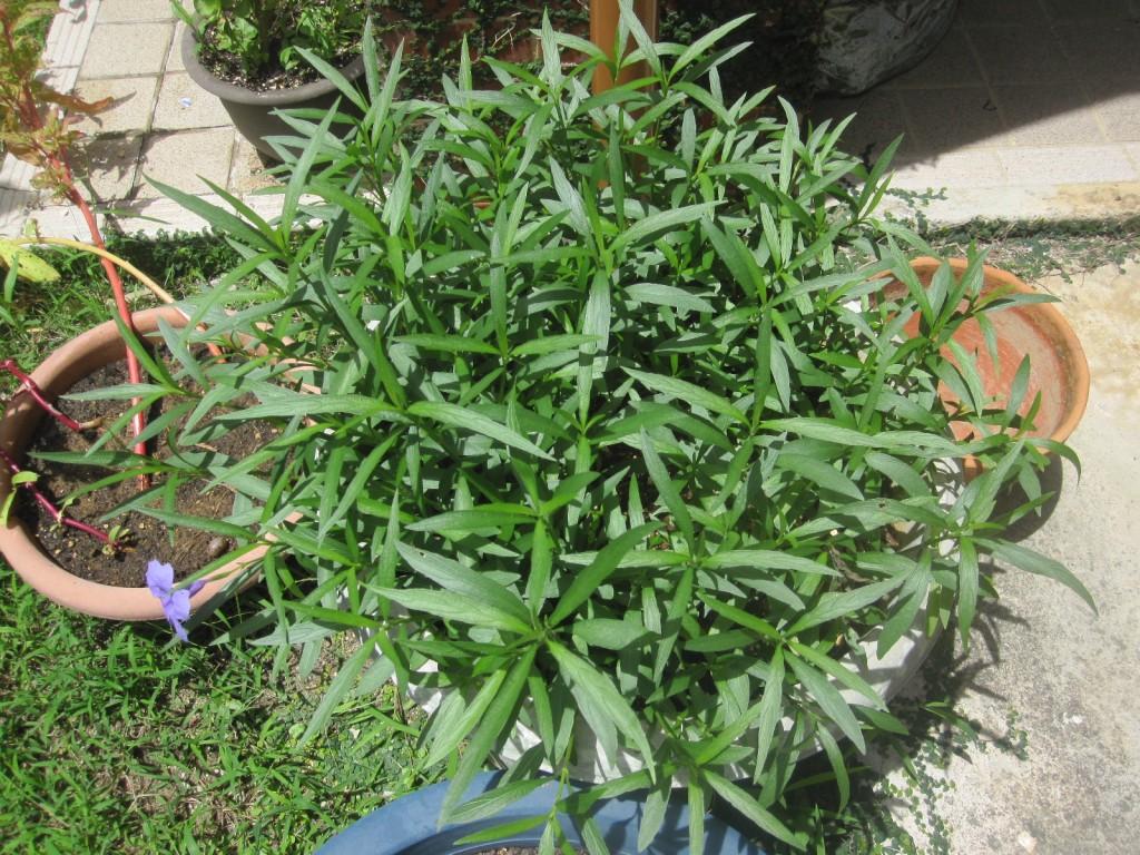 種蒔きのし過ぎで密集して生えた柳葉るいら草
