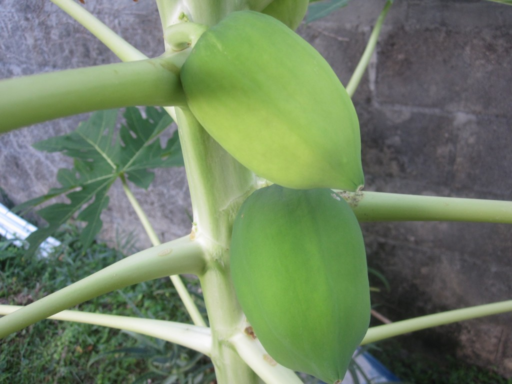 実を付けたパパイアの果樹