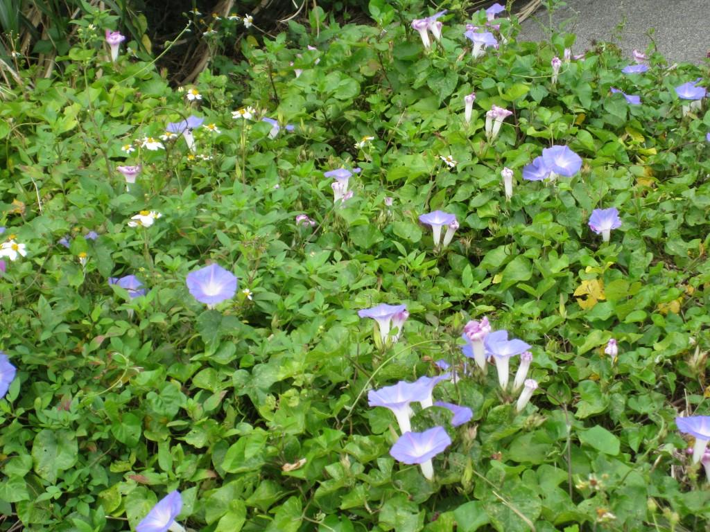 駐車場の脇で咲いていた朝顔(アサガオ)の花