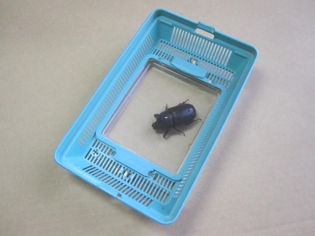 捕獲したタイワンカブトムシを虫カゴに入れる