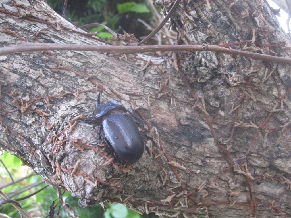 タイワンカブトムシを林の中の木々に逃がした