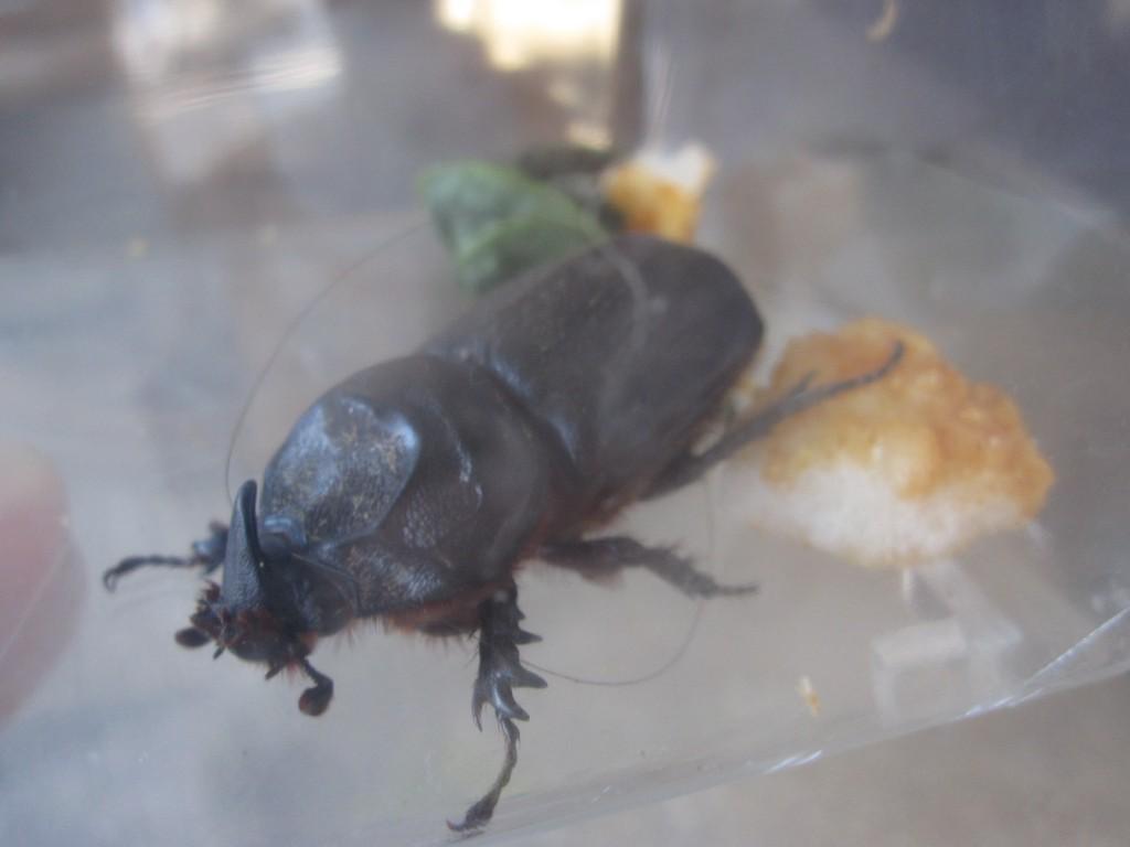 虫カゴの中のタイワンカブトムシとせんべい