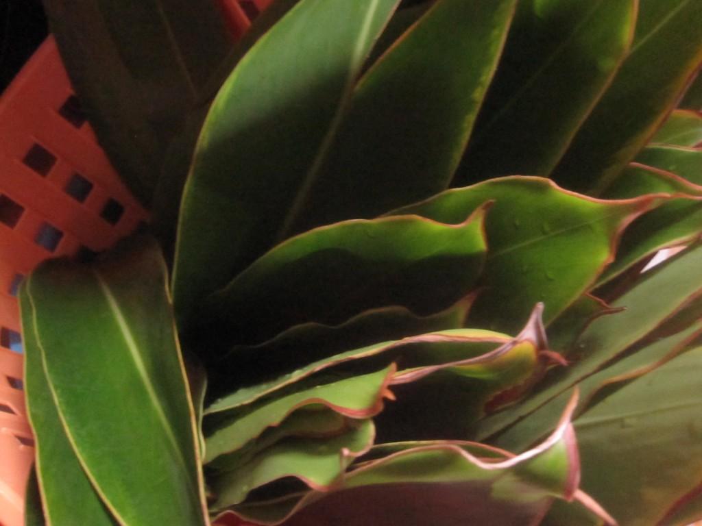 月桃(げっとう)の葉を刈り取り綺麗に洗う