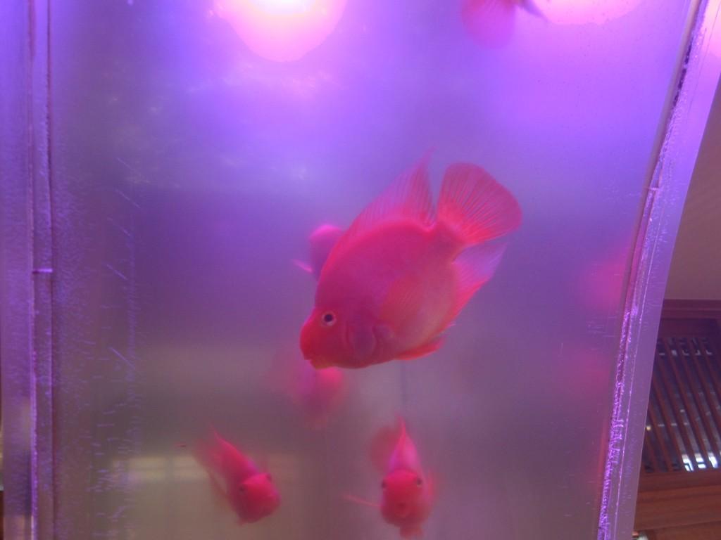 元気に泳ぎまわる赤い金魚たち