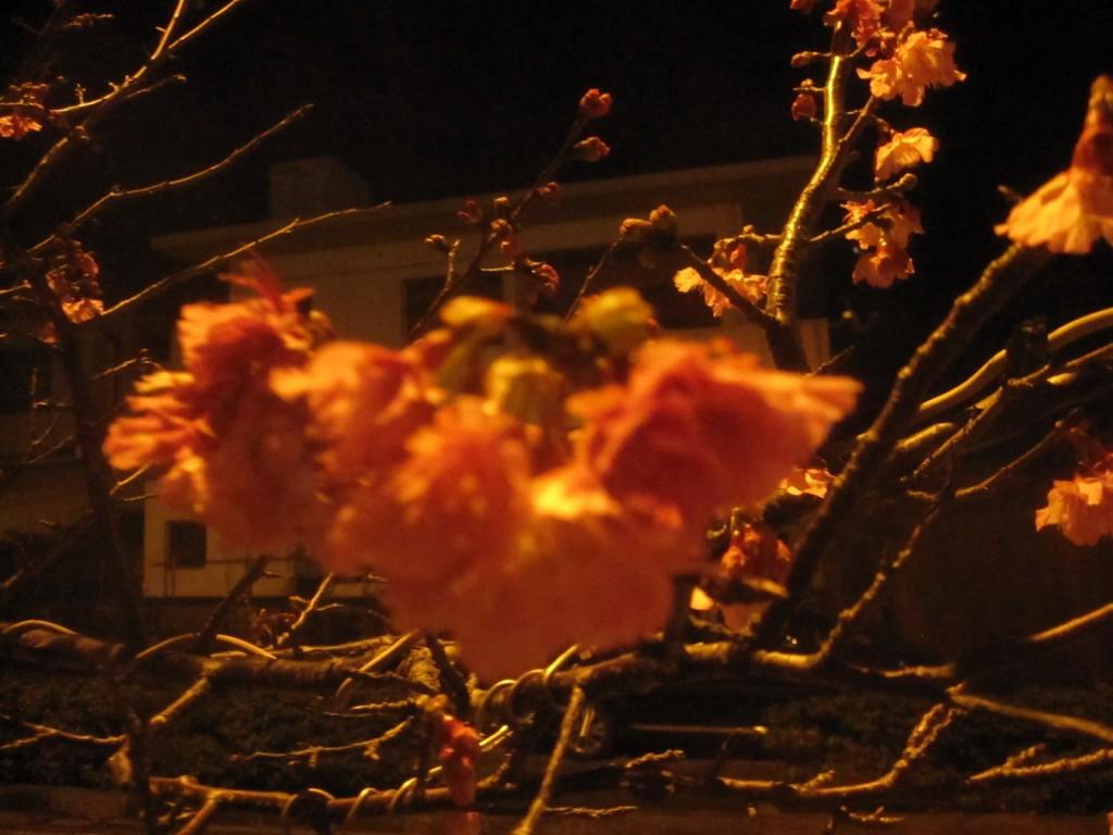 実は緋寒桜(ヒカンザクラ)・寒緋桜(カンヒザクラ)どっちでも読んでいい沖縄の桜の木