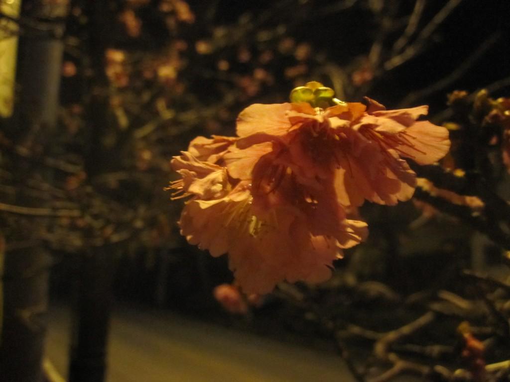 沖縄の冬を彩る濃いピンク色の桜の花