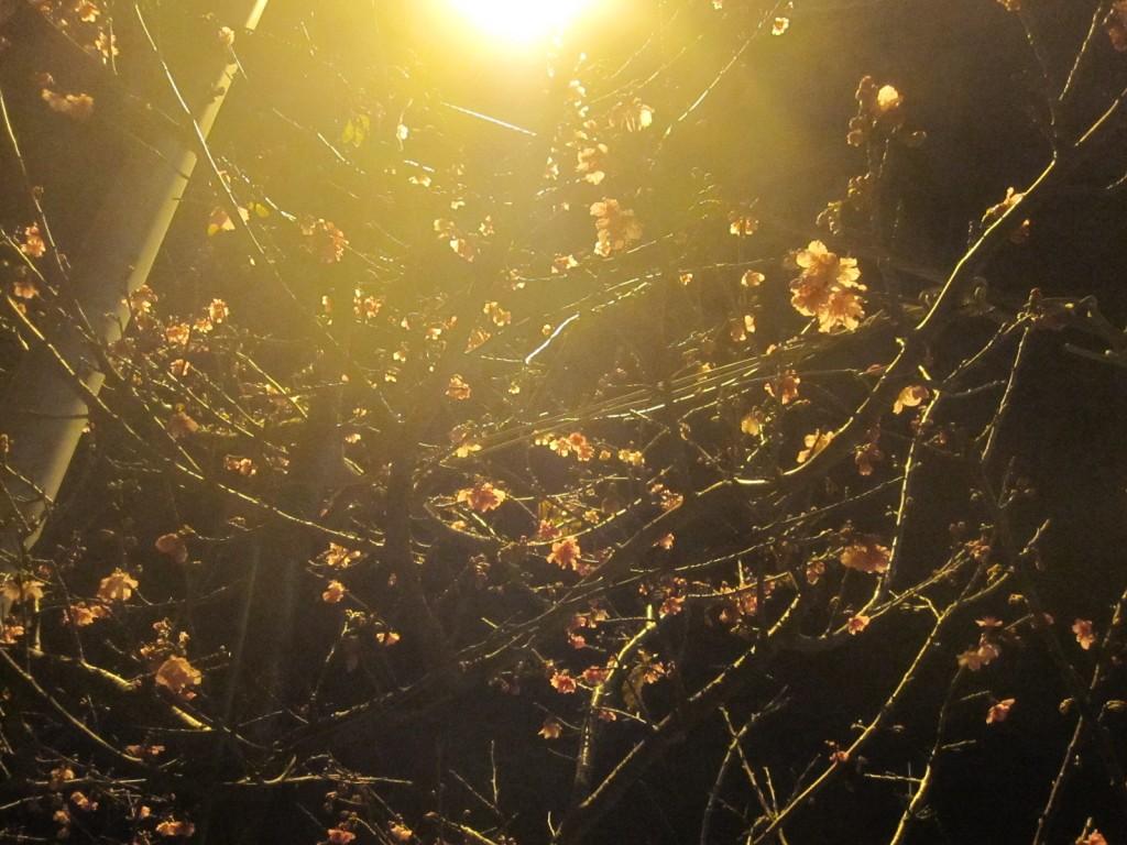 気温低下の後に暖かくなり開花した沖縄のカンヒザクラ(寒緋桜)