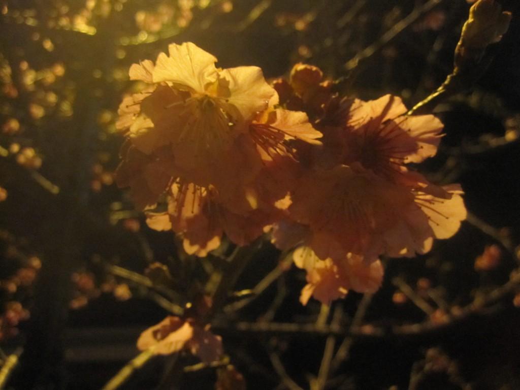 寒波の後に咲き出した沖縄のサクラ・緋寒桜(ヒカンザクラ)