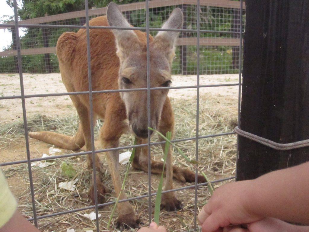 こっちおいで、と草でカンガルーを誘い出す