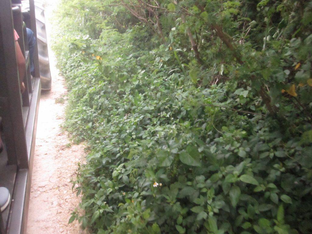 木々や雑草が覆い茂った砂利道を突き進むトラクターバス