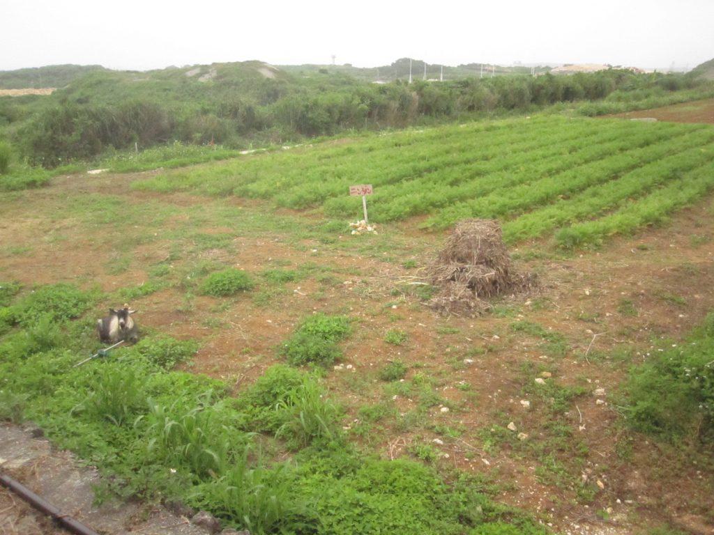 畑の横で雑草対策で置かれたと思われるヤギ