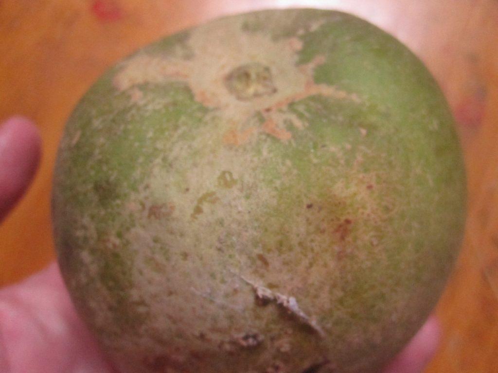 見た目はバンシルー(グァバ)の果実が大きくなったようにも見えるシロサポテ