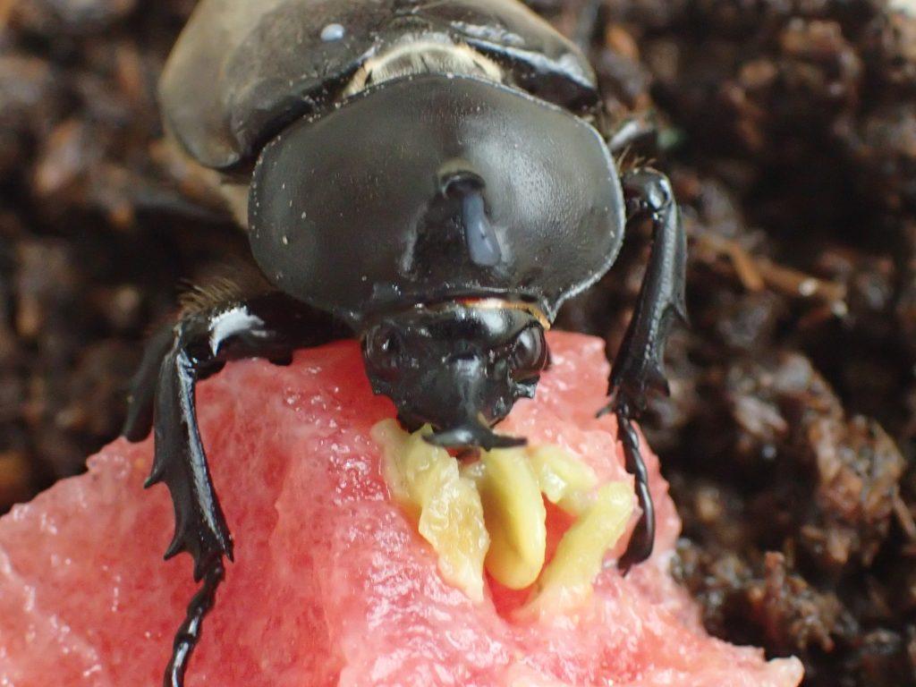 スイカの甘い汁を舐め続ける小さなカブトムシ