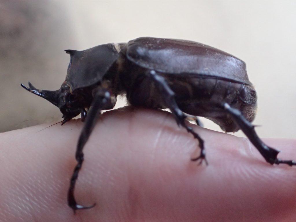 小型の種類のカブトムシなのか不明だが成虫なのかよく分からない