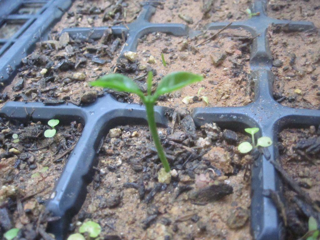 約3ヶ月後、育苗トレイのひとつから芽が出てきた