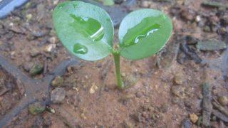 キンカンまたはミカンの芽が出てきた