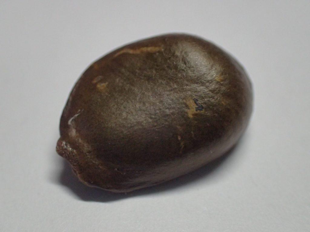 沖縄県産アテモヤの種(タネ)の写真・画像