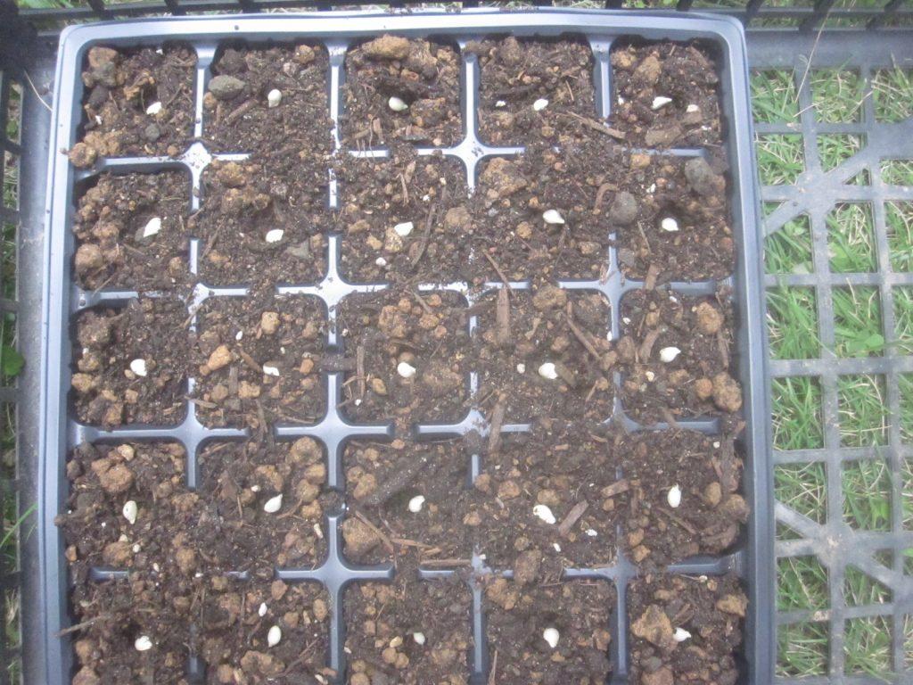 種まきに便利なセルボックス・セルトレイ(プラグトレイ)に土を入れてタネを置いていく