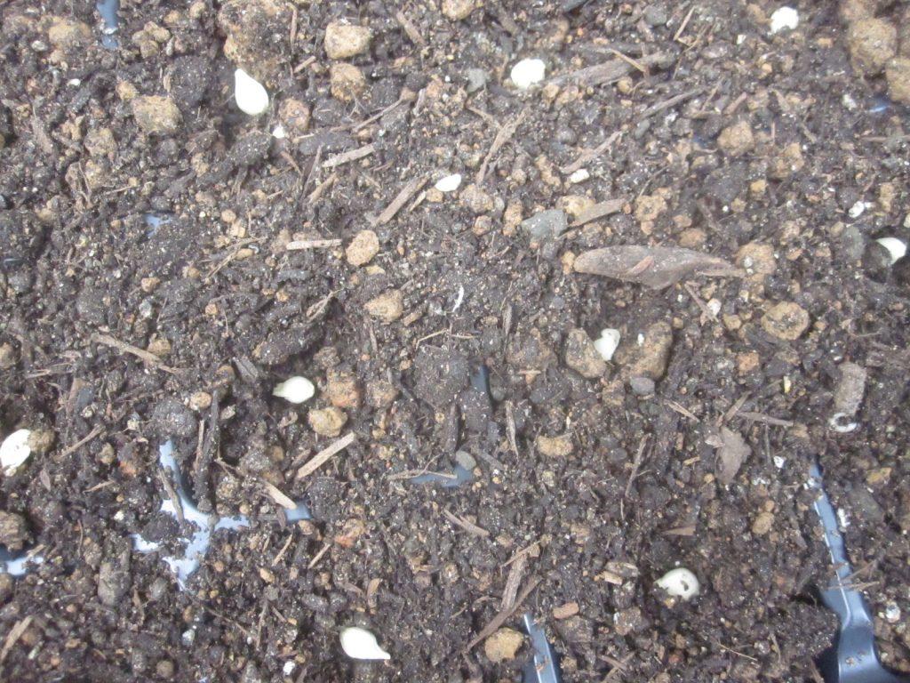 種まき用土を各仕切りに入れてタネを入れていく