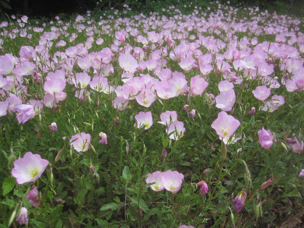 咲き乱れていたピンク色の花は、ヒルザキツキミソウ( 昼咲き月見草)?