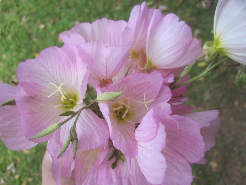 綺麗に咲いた花を何本か摘んで持って歸った