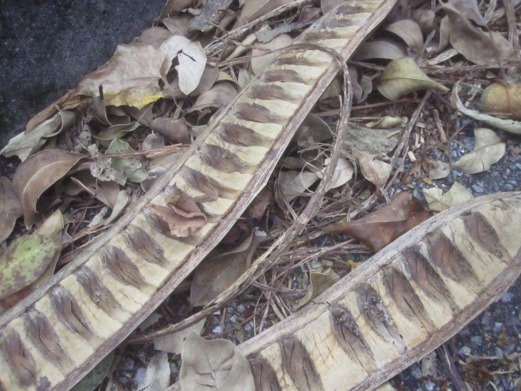 数メートルの高さからアスファルトに落ちた実は割れて種子・タネが弾け散る