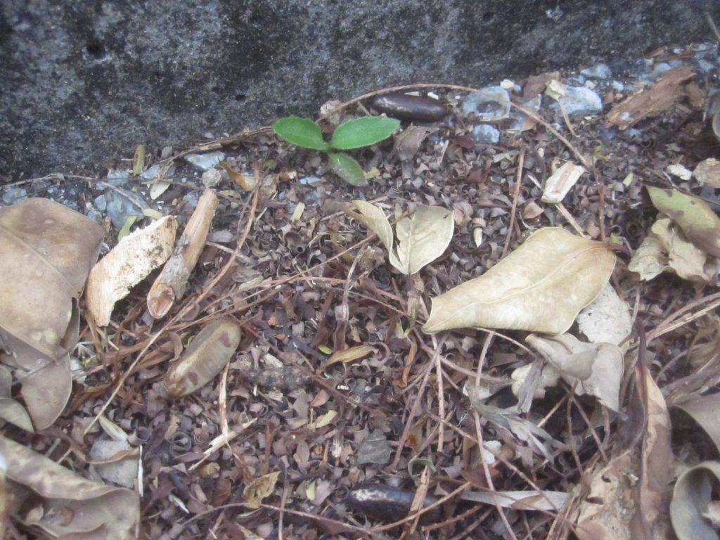 枯れ木や葉と共に道路の端に溜まっているホウオウボクのタネ