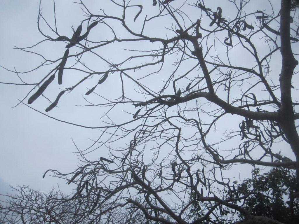 花が咲き終わった鳳凰木(ホウオウボク)の木々にぶら下がる大きな枯れた実