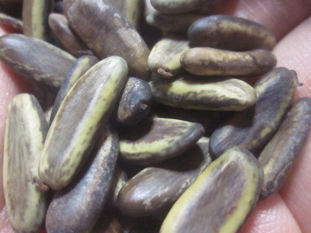 ホウオウボクの種子のサイズは約1センチ程度