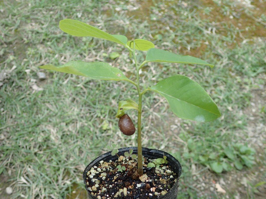タネの殻を携えたまま新芽が成長したアテモヤの苗木