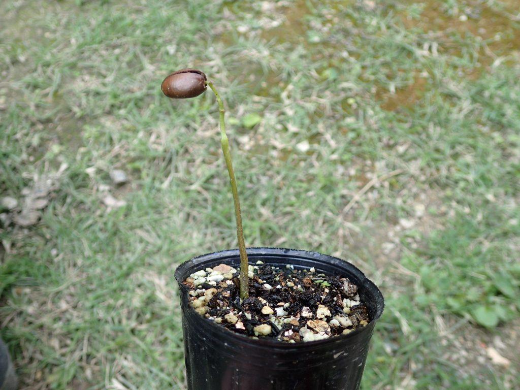 発芽して1ヶ月が過ぎても硬い殻を脱げずに成長が止まったアテモヤの苗