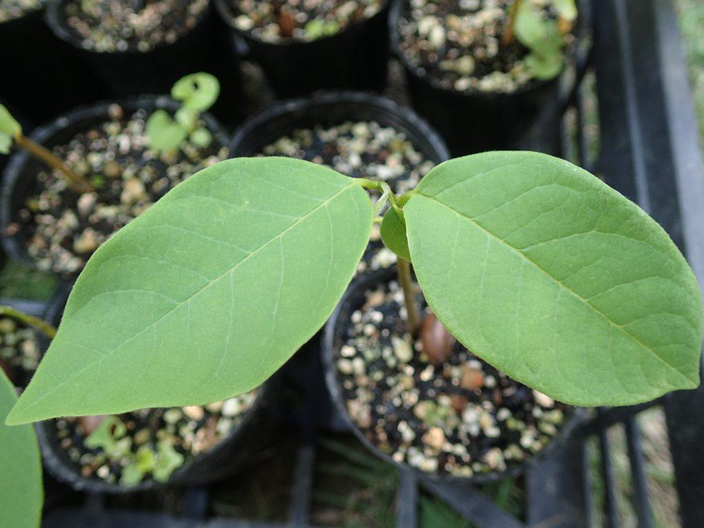 種蒔きから約2ヶ月後の成長したアテモヤの葉