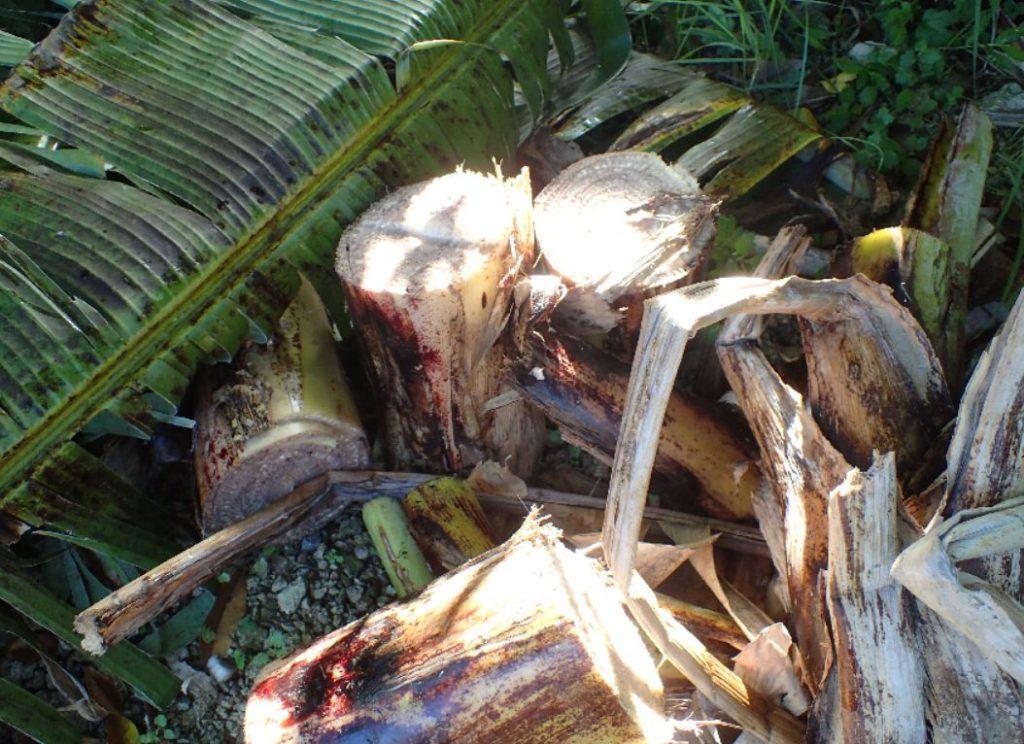 バナナの実を取り終えて切り倒したが、昆虫が入り込んだ跡は発見できなかった