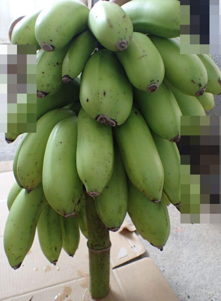 別のバナナの木に垂れ下がっていた房の実を収穫した