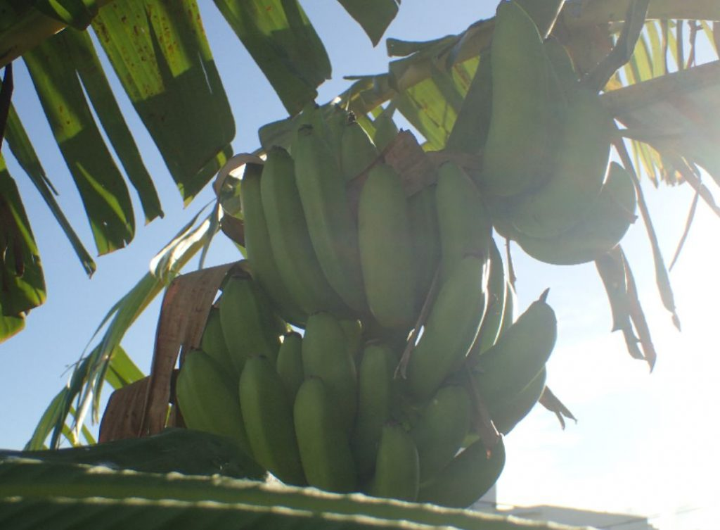 別の島バナナの木に成っている房も大きくなってきたので収穫が近い