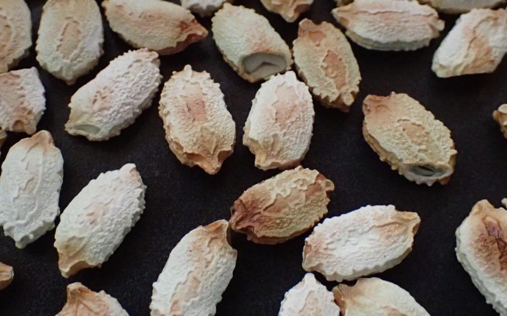 フライパンで乾煎りした沖縄野菜ゴーヤーの種子・タネ