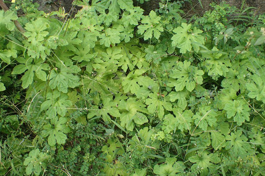 ゴーヤーの葉が生い茂った中に実がなっている