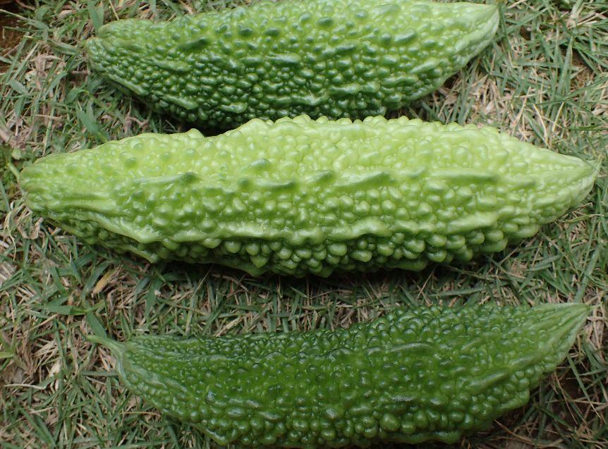 小ぶりだがゴーヤーの青い実(野菜)を収穫した