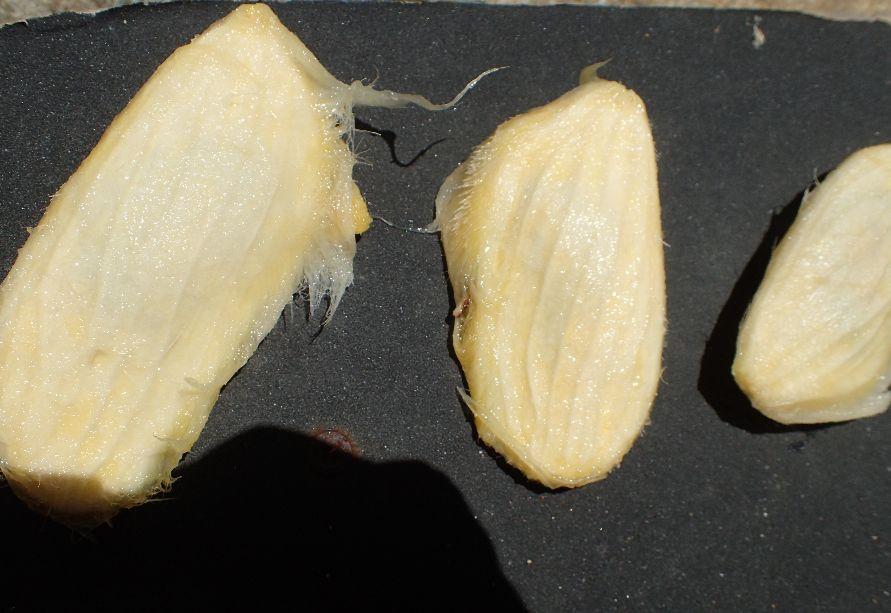 果肉を食べ終えた後に残ったマンゴーのタネ・種子