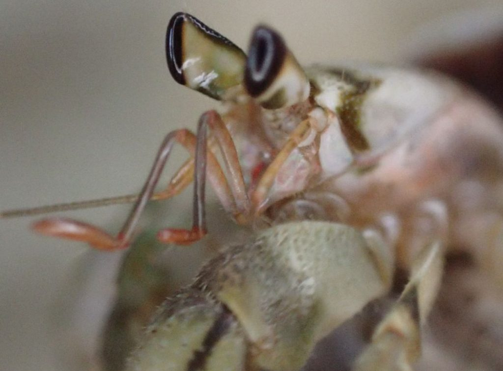 国指定天然記念物オカヤドカリが貝から出てきた瞬間を写真撮影