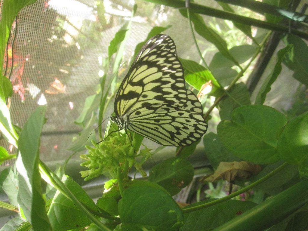葉に止まって羽を休めるオオゴマダラ
