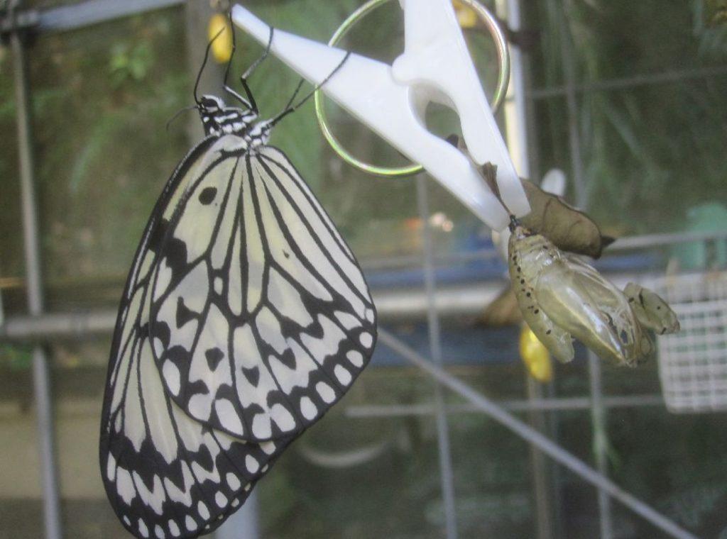"""日本で最大級サイズの蝶""""オオゴマダラ""""の成虫と黄金色の蛹(さなぎ)"""