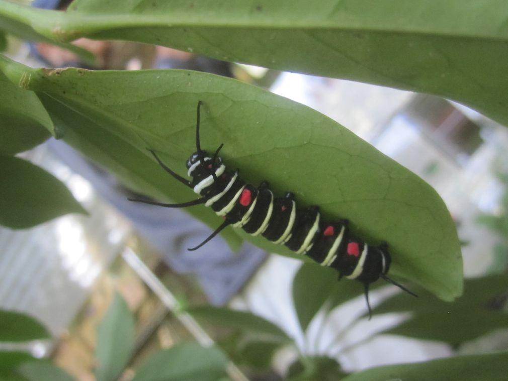 おどろおどろしい色のオオゴマダラの幼虫