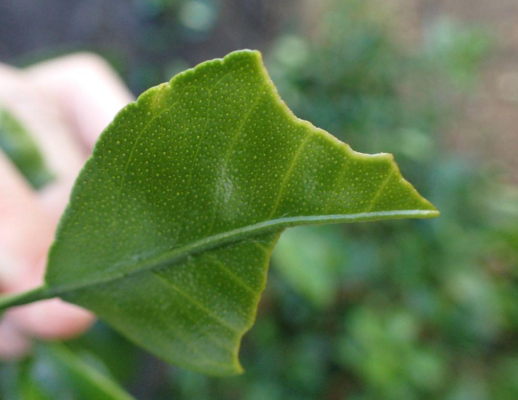 虫に葉を食われたシークアーサーの成長が心配になる