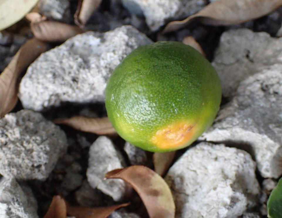 まだ小さなシークアーサーの果実が地面に落ちていた