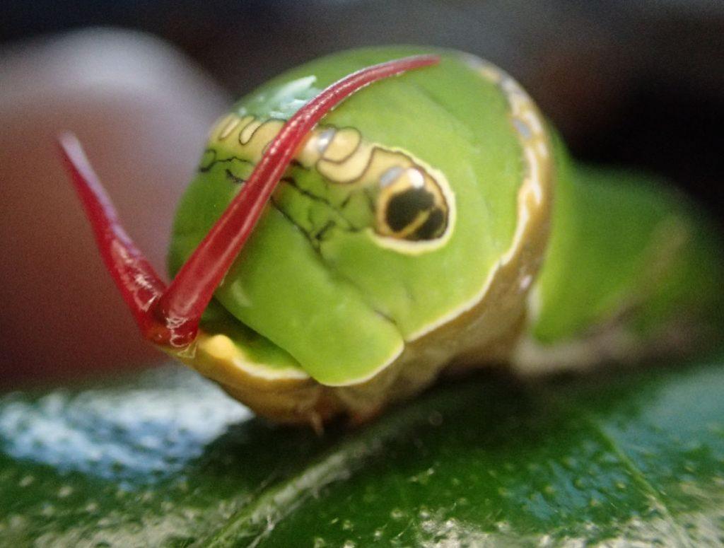 アゲハチョウの幼虫を刺激すると威嚇のため激臭のツノを出して敵を驚かせる