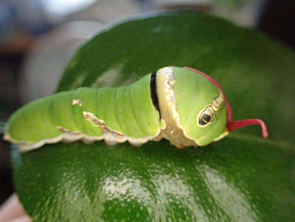 休んでいたのを邪魔されて怒って強烈にクサいツノを出すアゲハ幼虫