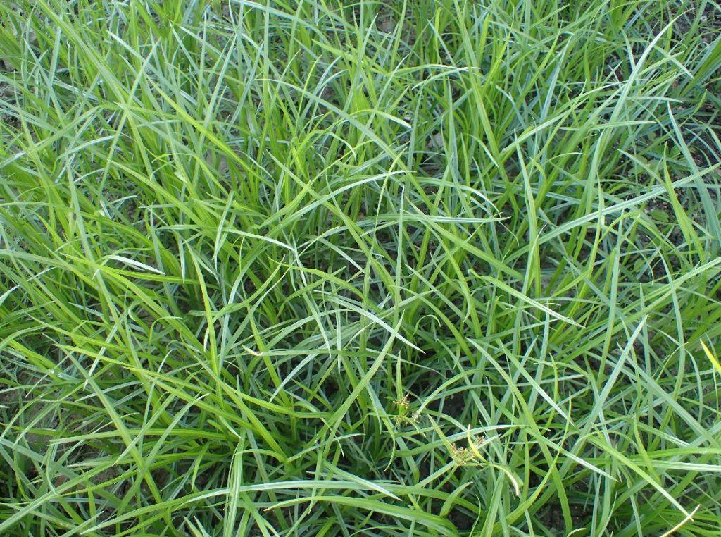雑草ハマスゲの大集団が形成されたジャングル